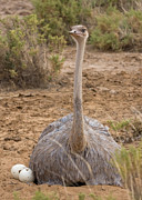 Ostrich Photos - Somali Ostrich on Nest by Chris Scroggins