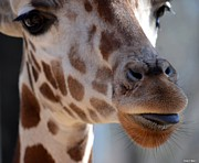 Young Giraffe Photos - Something To Talk About by Maria Urso - Artist and Photographer