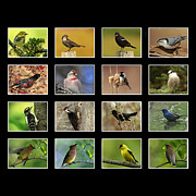 Shelley Myke Prints - Song Birds of Canada Collection Print by Inspired Nature Photography By Shelley Myke