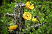 Canary Yellow Prints - Song birds sing orange you glad Print by LeeAnn McLaneGoetz McLaneGoetzStudioLLCcom