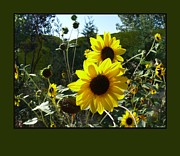 Jacquelyn Roberts - Song of the Sunflower