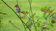 Brunch Prints - Song Sparrow 2 Print by Rima Biswas