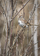 Birders Framed Prints - Song Sparrow Framed Print by Dale Kincaid