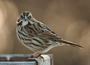 Jim Moore - Song Sparrow