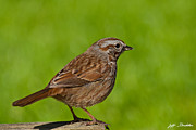 Jeff Goulden - Song Sparrow on a Log