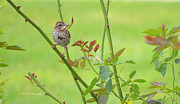 Bird On Tree Prints - Song Sparrow Print by Rima Biswas