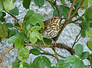 Birds. Thorns Prints - Song Thrush in Rosebush Print by Phil Banks