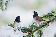 First Snow Framed Prints - Songbirds Rejoice Framed Print by Doug Keech