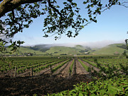 Wine Vineyard Photo Originals - Sonoma Vineyard by Guy Whiteley