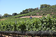 White Grape Photos - Sonoma Vineyards In The Sonoma California Wine Country 5D24503 by Wingsdomain Art and Photography