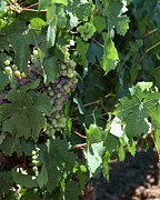 White Grape Photos - Sonoma Vineyards In The Sonoma California Wine Country 5D24510 vertical by Wingsdomain Art and Photography
