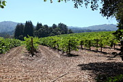 Grape Vines Photos - Sonoma Vineyards In The Sonoma California Wine Country 5D24511 by Wingsdomain Art and Photography