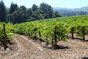 Grape Vines Photos - Sonoma Vineyards In The Sonoma California Wine Country 5D24512 by Wingsdomain Art and Photography