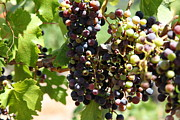 Sonoma Vineyards In The Sonoma California Wine Country 5d24572 Print by Wingsdomain Art and Photography