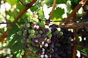 Wine Grapes Prints - Sonoma Vineyards In The Sonoma California Wine Country 5D24578 Print by Wingsdomain Art and Photography
