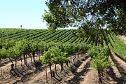 Vine Grapes Prints - Sonoma Vineyards In The Sonoma California Wine Country 5D24594 Print by Wingsdomain Art and Photography