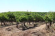 Vine Grapes Prints - Sonoma Vineyards In The Sonoma California Wine Country 5D24598 Print by Wingsdomain Art and Photography