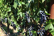 Vine Grapes Prints - Sonoma Vineyards In The Sonoma California Wine Country 5D24629 Print by Wingsdomain Art and Photography