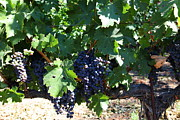 Vine Grapes Prints - Sonoma Vineyards In The Sonoma California Wine Country 5D24631 Print by Wingsdomain Art and Photography