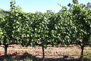 White Grape Photos - Sonoma Vineyards In The Sonoma California Wine Country 5D24636 by Wingsdomain Art and Photography