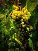 White Grape Photo Metal Prints - Sonoma Wine Grapes 001 Metal Print by Lance Vaughn
