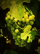 Grapevine Leaf Photo Framed Prints - Sonoma Wine Grapes 002 Framed Print by Lance Vaughn