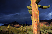 Desert Storm Prints - Sonoran Desert Symphony Of Light 1 Print by Bob Christopher
