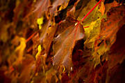 Vivid Fall Colors Framed Prints - Soon to Fall Framed Print by Christi Kraft