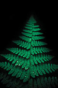 Fern Photos - Soothing Fern by Shane Holsclaw