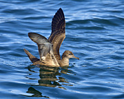 Bay Of Fundy Prints - Sooty Shearwater Print by Tony Beck