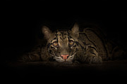 Clouded Leopard Posters - Soul Connection Poster by Ashley Vincent