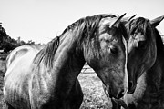 White Horses Photo Prints - Soul Mates Print by Toni Hopper