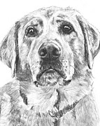 Dog Lover Drawings Posters - Soulful Lab Face Poster by Kate Sumners