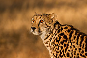 Golden Eye Cat Photos - South African Queen by Ashley Vincent