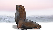 Oceans Drawings Prints - South American Fur Seal Arctocephalus australis - Otarie a fourrure australe - lobo marino de dos  Print by Urft Valley Art