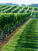 Hamptons Prints - South Fork Vineyard Print by John Wartman