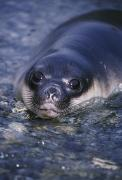 Johnson Photos - Southern Elephant Seal Pup Lying by Johnny Johnson