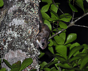 Southern Flying Squirrel Print by Al Powell Photography USA