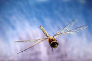 Dragonflies Art - Southern Hawker Dragonfly  by Michael Durham