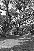 Evergreen Plantation Photo Framed Prints - Southern Lane monochrome Framed Print by Steve Harrington