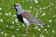Lapwing Photos - Southern Lapwing by Jeff Chase