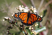 Neotropics Prints - Southern monarch butterfly Print by James Brunker