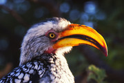 Hornbill Originals - Southern Red Billed Hornbill by Marco Bertazzoni