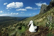Albatross Prints - Southern Royal Albatross Print by Tui De Roy