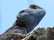 Jennifer Longsworth - Southern Tree Agama in...