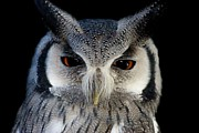 Thomas Photography  Thomas - Southern White-Faced Scops Owl