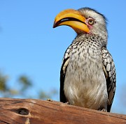 Hornbill Originals - Southern Yellow-billed Hornbill by Heidi Lane
