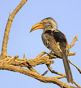 Black-billed Framed Prints - Southern Yellow-Billed Hornbill Sitting on a Branch Framed Print by Paul W Sharpe Aka Wizard of Wonders
