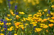 Southwest Wildflowers  Print by Saija  Lehtonen