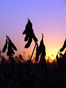 Iowa Photos - Soybeans by Cassie Peters